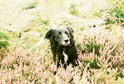 Meg in the Heather